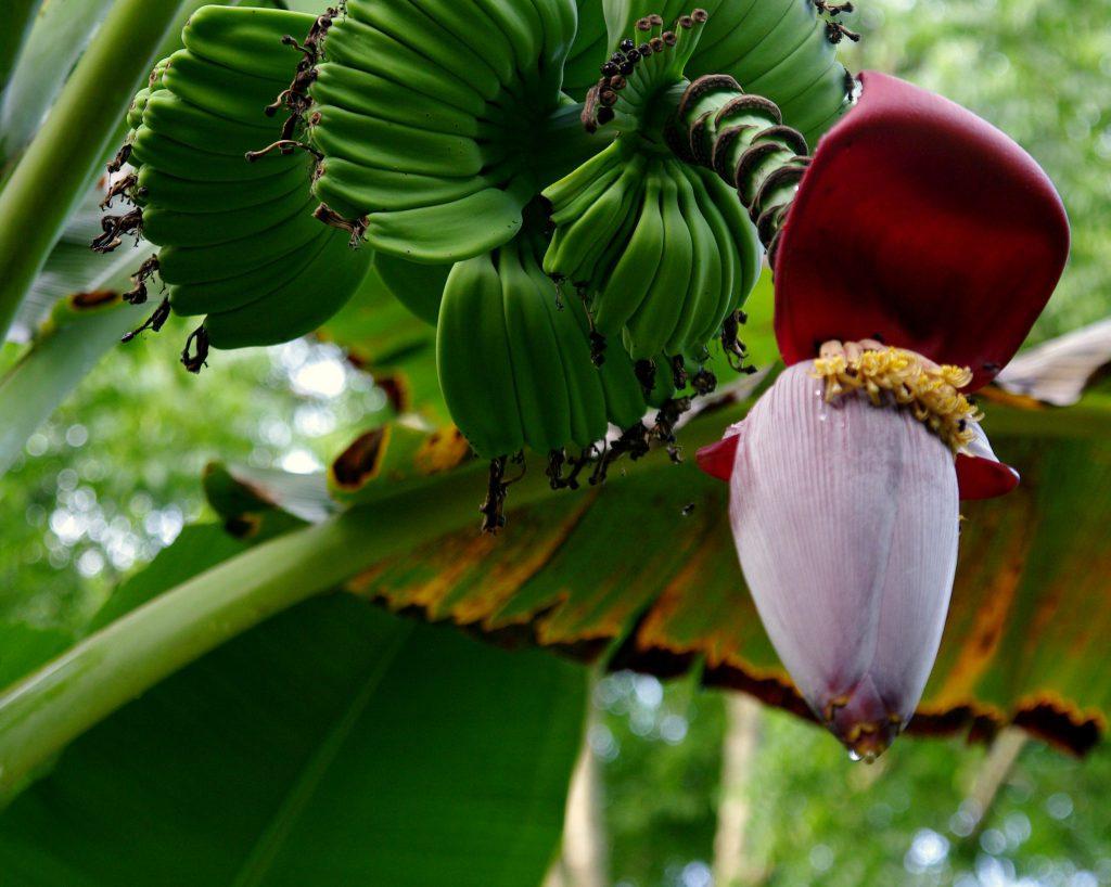 Bananenblüte - Lago Peten - Guatemala