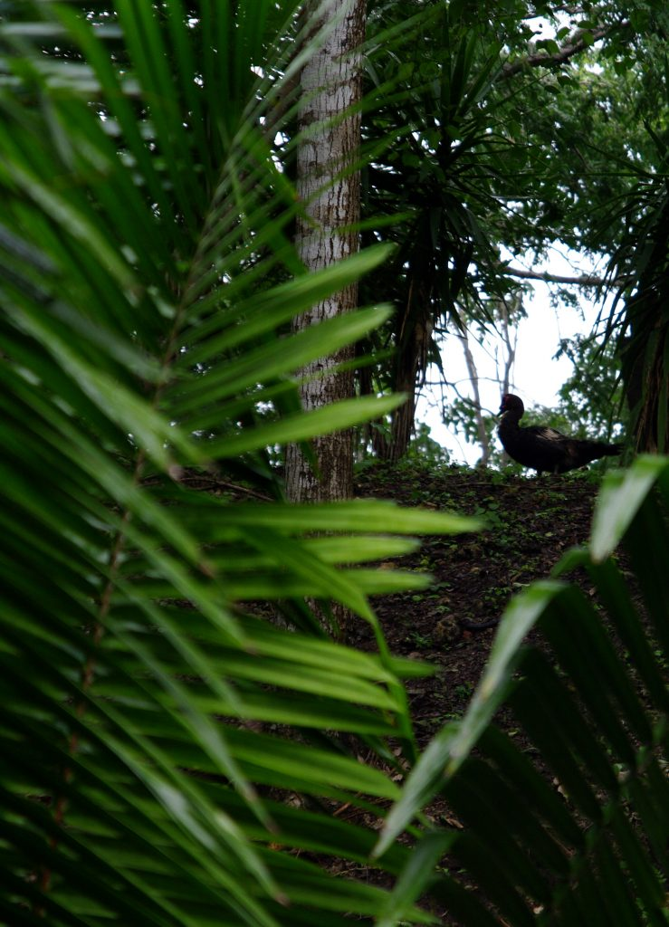 Ente im tropischen Unterholz - Lago Peten - Guatemala
