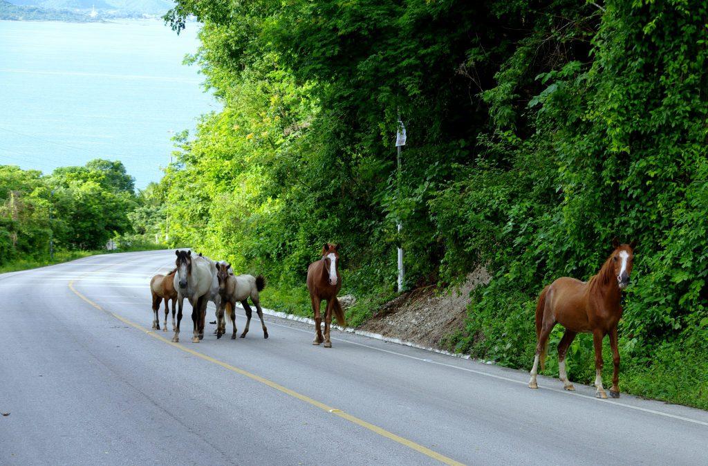 Frei laufende Pferde - Am Lago Peten - Guatemala
