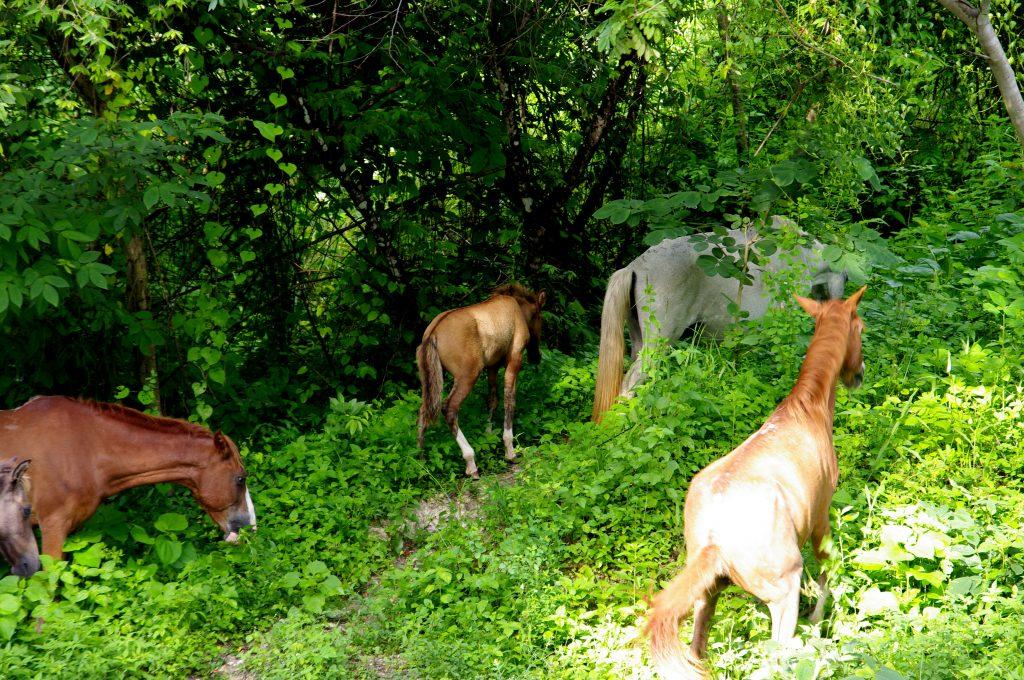 Frei laufende Pferde verschwinden im Wald - Am Lago Peten - Guatemala