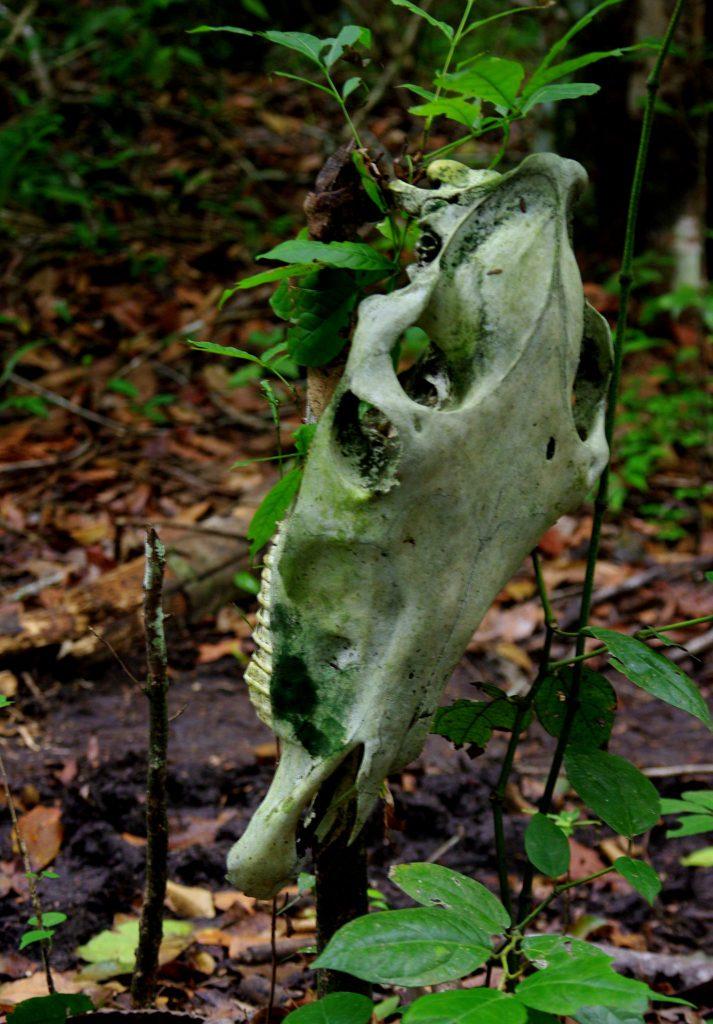 Maultierschädel - im Peten - Guatemala