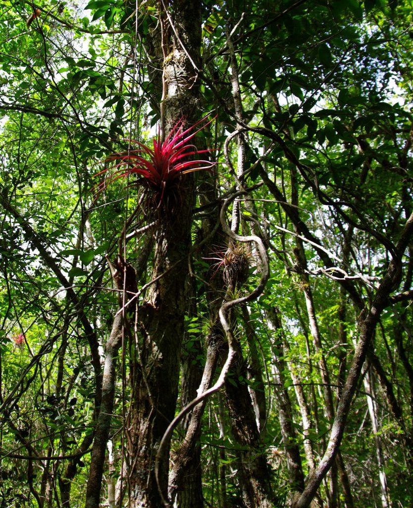 Tillandsie - Im Peten - Guatemala