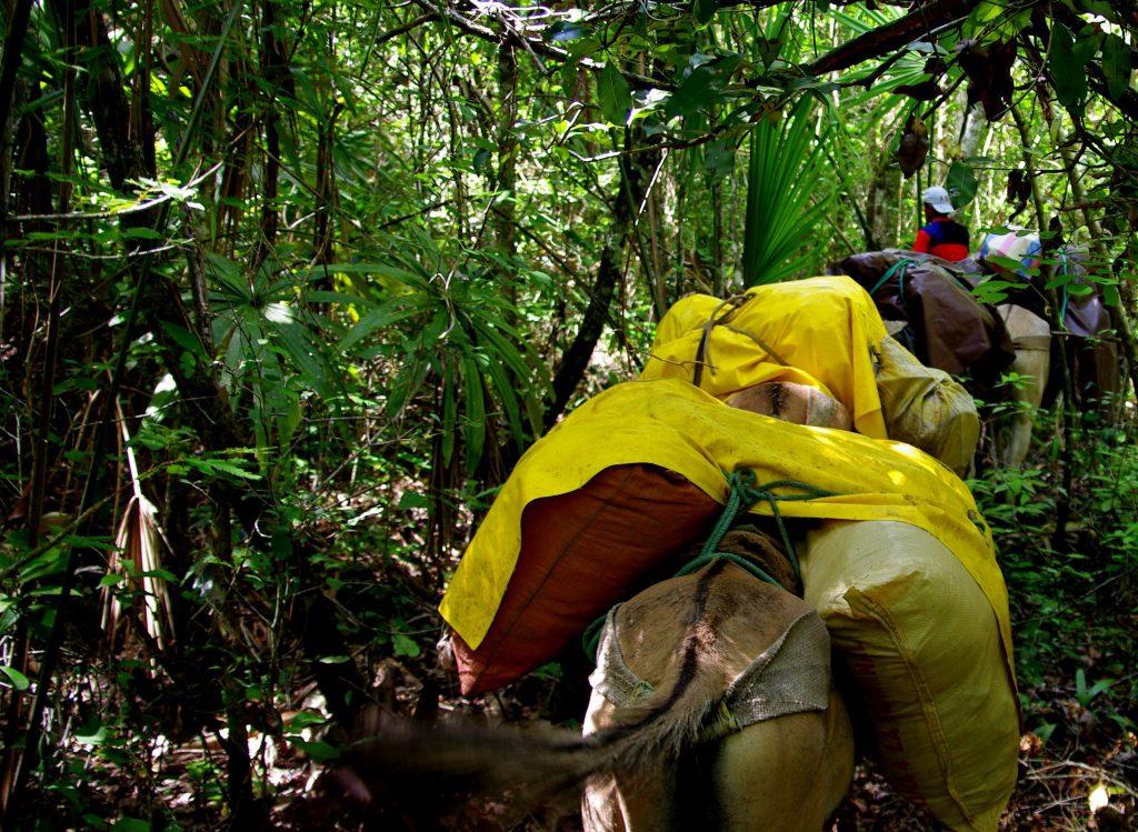 Maultiere im Dschungel - Im Peten - Guatemala