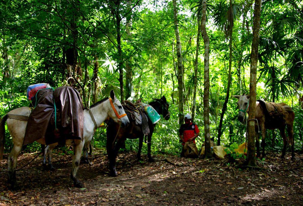 Maultiere - Dschungelimpression - Im Peten - Guatemala