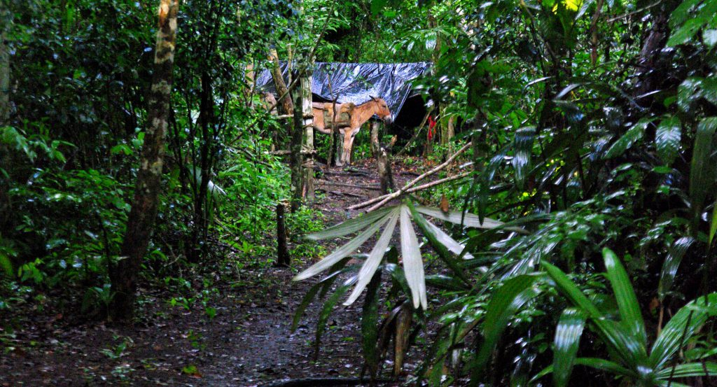 Maultiere nach der Nachtruhe - Dschungelimpression - Im Peten - Guatemala