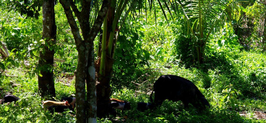 Freilaufende Hausschweine im tropischen Unterholz - am Lago Peten - Guatemala