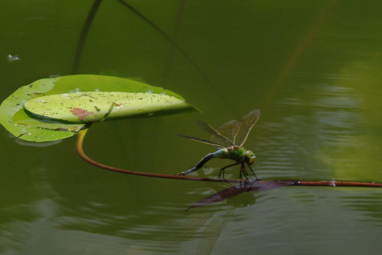 Libelle - am Oberwaldsee