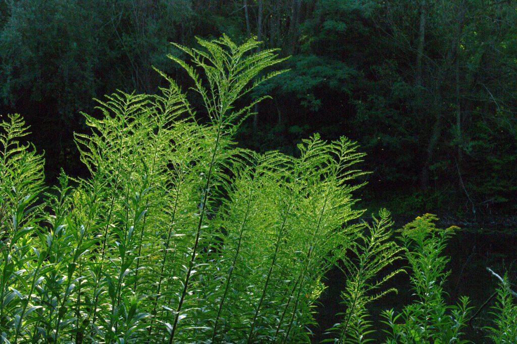 Pflanzen am Oberwaldsee