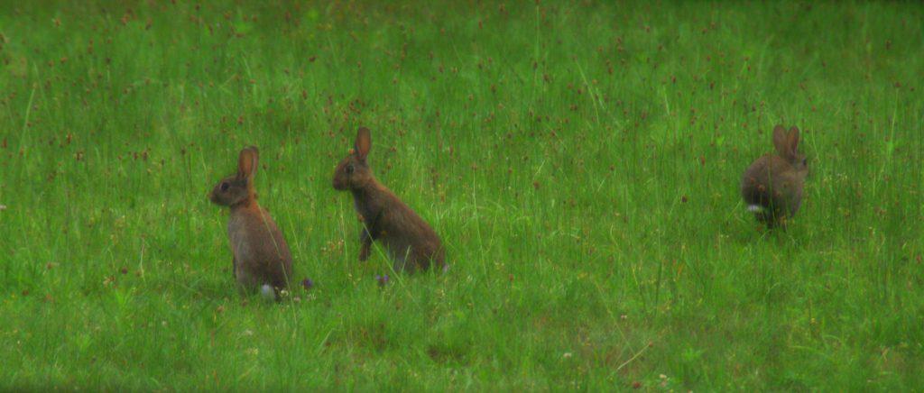 Kaninchen?