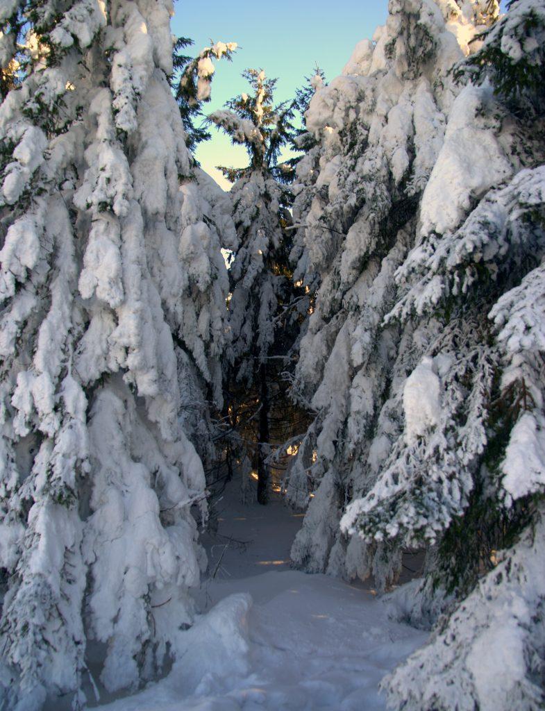 Verschneite Tannenschonung - Hornisgrinde