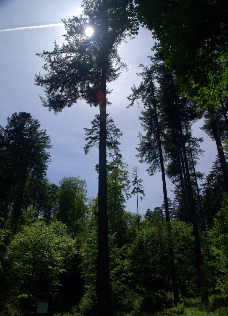 Waldimpression im Gegenlicht - Frauenalb - Schwarzwald