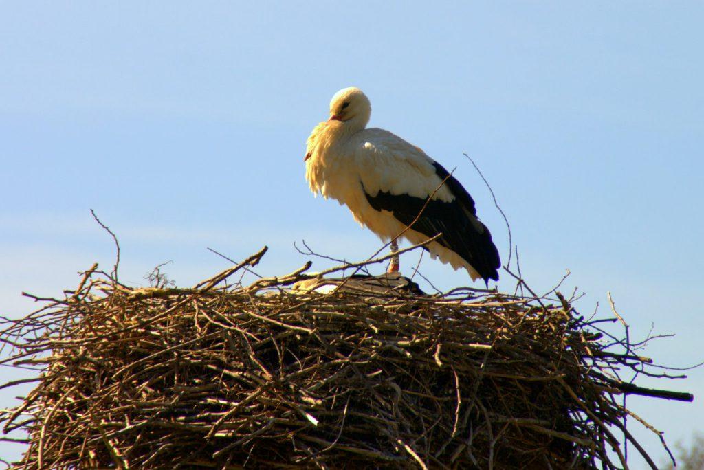 Einzelner Storch in Ruhestellung - Linkenheim