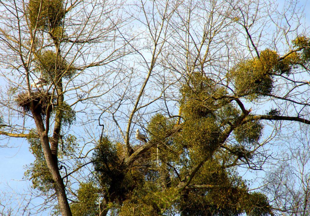 Zwei Storchennester zwischen Misteln - Storchenkolonie im Vogelpark -Linkenheim