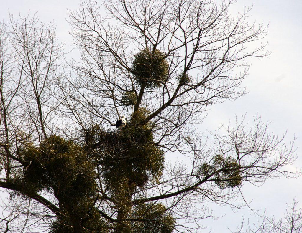 Storchennest zwischen Misteln - Storchenkolonie im Vogelpark - Linkenheim