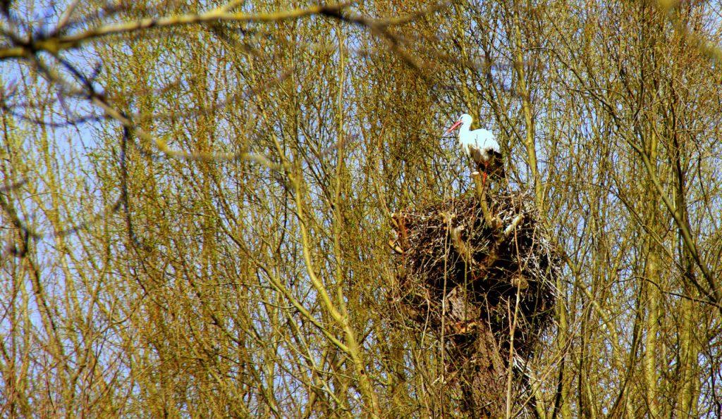Storchennest zwischn Misteln - Storchenkolonie im Vogelpark - Linkenheim