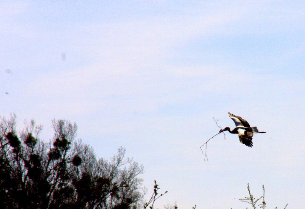 Storch mit Nistmaterial im Anflug