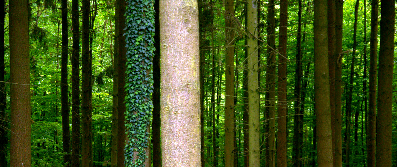 Trees in a German Forest - waldgold.de