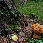Krause Glucke - Pilze sammeln