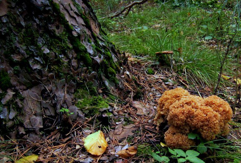 Krause Glucke – Pilze sammeln
