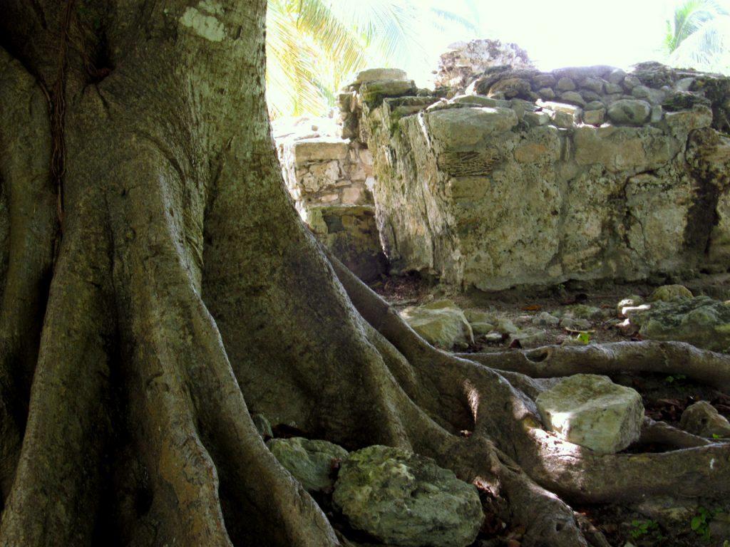 Brettwurzeln neben antikem Mauerwerk an der Riviera Maya