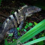 Iguanas in Ruinen - Mexiko