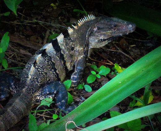 Der grüne Leguan - Iguana im Unterholz