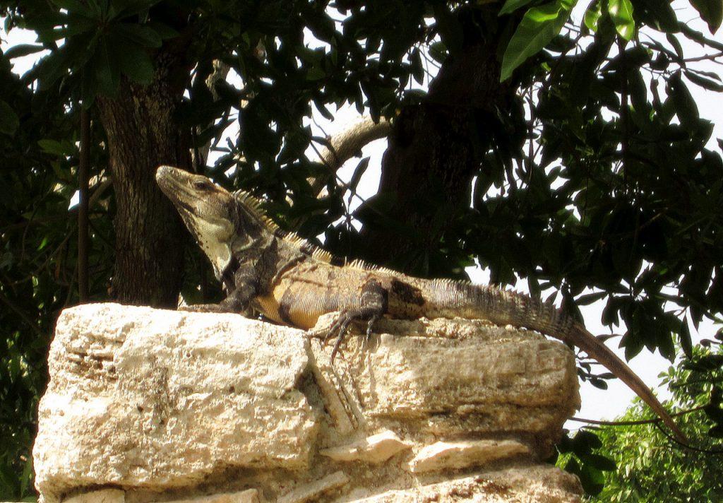 Iguana beim Sonnenbad