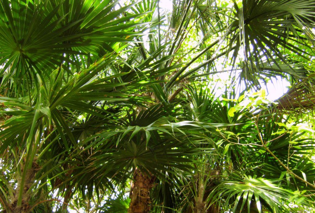 Palmen an der Karibikküste - Quintana Roo