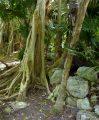 Tropische Vegetation an der Karibikküste - Quintana Roo