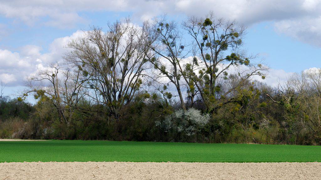 Weizenfelder - Misteln