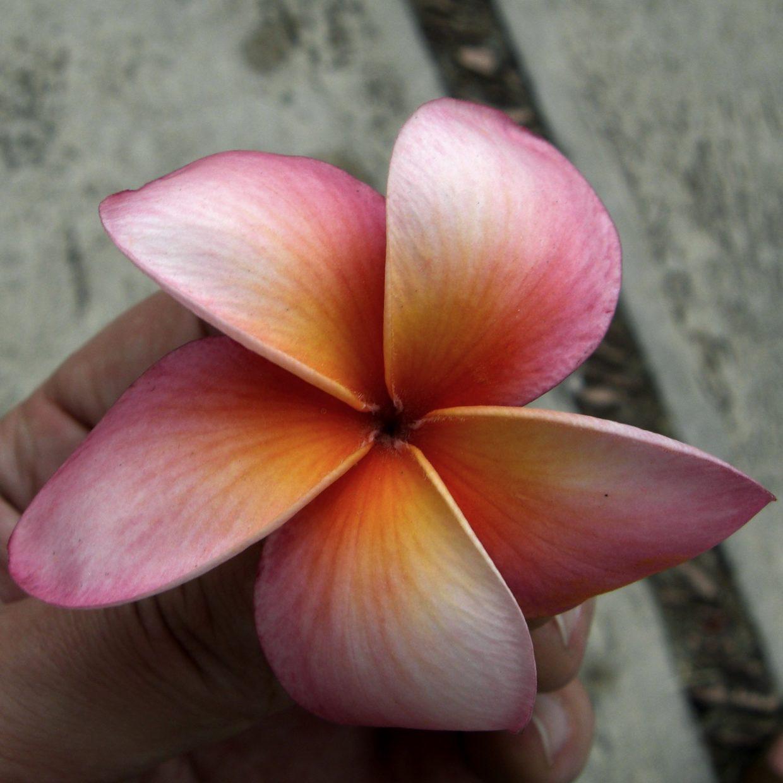 Plumeria - Frangipani Trees (English) Sac Nicte (Maya) Flor de Mayo