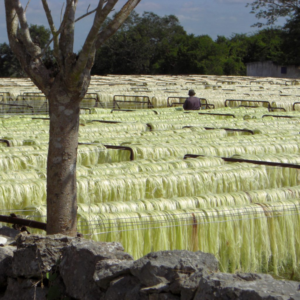 Sisal production in Yucatan