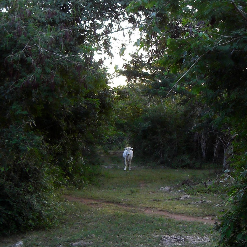 White cattle in the woods