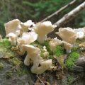 Weiße Baumpilze - unbekannt