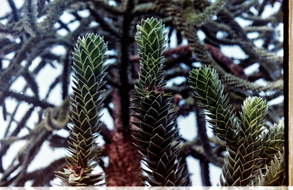 Pflanze im botanischen Garten - Akarette II und Fujicolor Superia 200