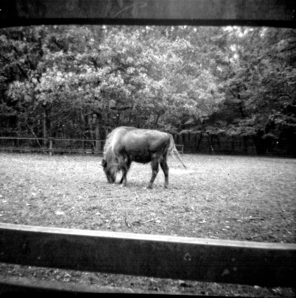 Büffel - Vredeborch Felica - Fomapan 400