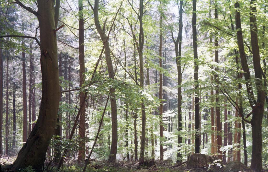 Wald im frühen Gegenlicht - Agfa Billy I - Kodak Ektar
