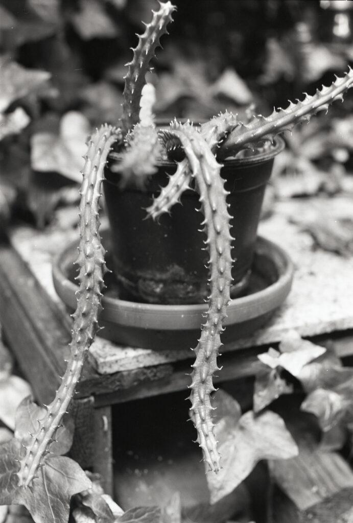 Pflanze im Hinterhof - Horseman VH-R - Fomapan 100