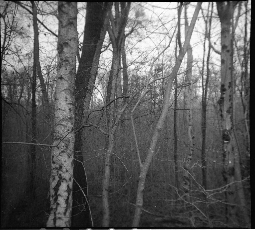 Birken am Erlachsee im Oberwald - Gamma Pajta's
