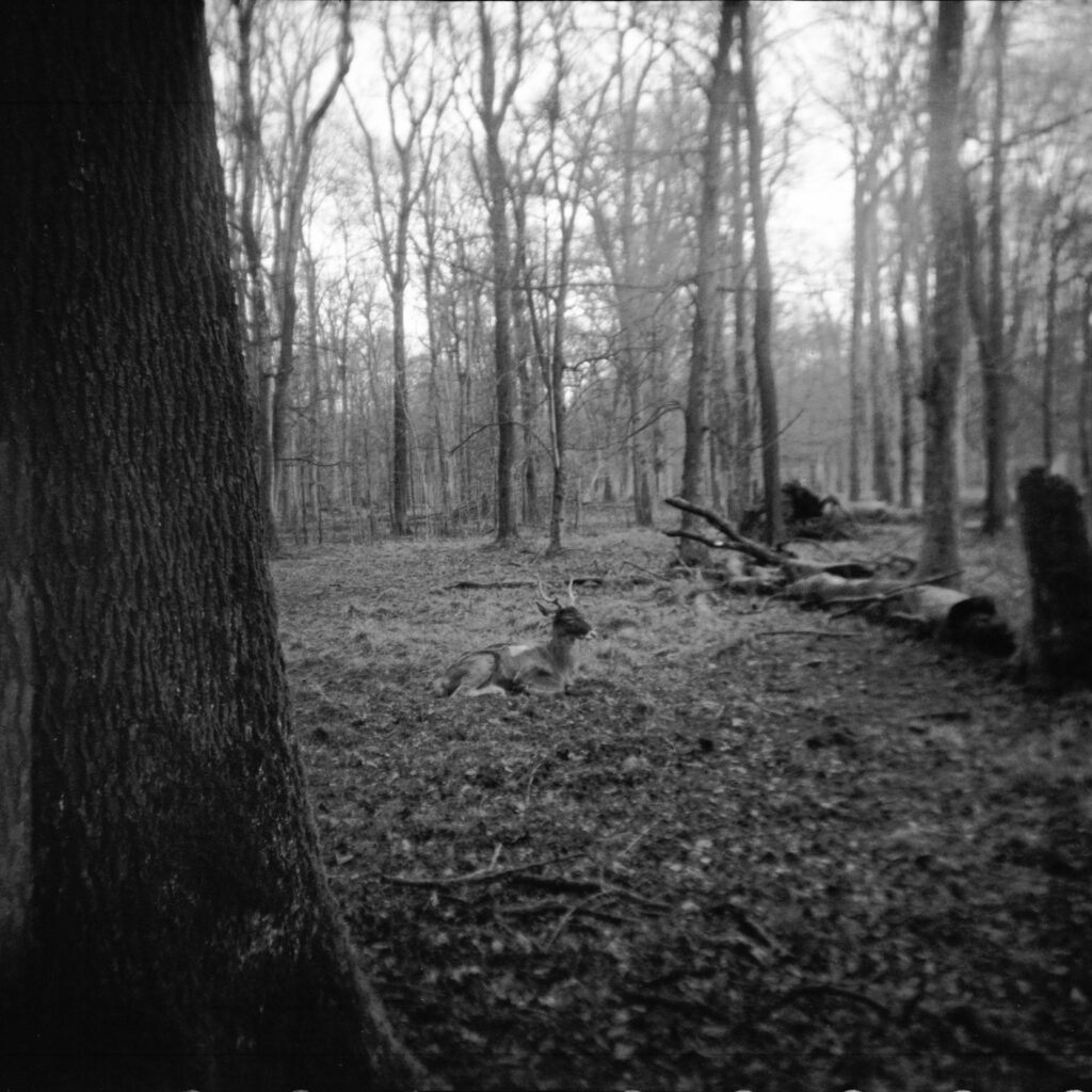 Hirsch im Oberwald - Gamma Pajta's